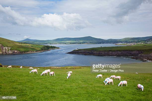 Sheep grazing in a field at the entrance to the dingle harbour
