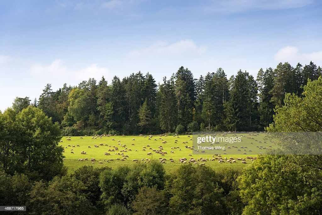 Sheep grazing in a field : Stock Photo