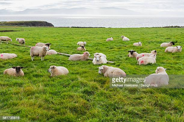 Sheep grazing in a grass field overlooking the bay in the distance