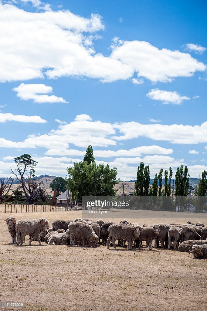 Bothwell Australia  city photo : BOTHWELL, TASMANIA, AUSTRALIA : Sheep grazing in a paddock outside ...