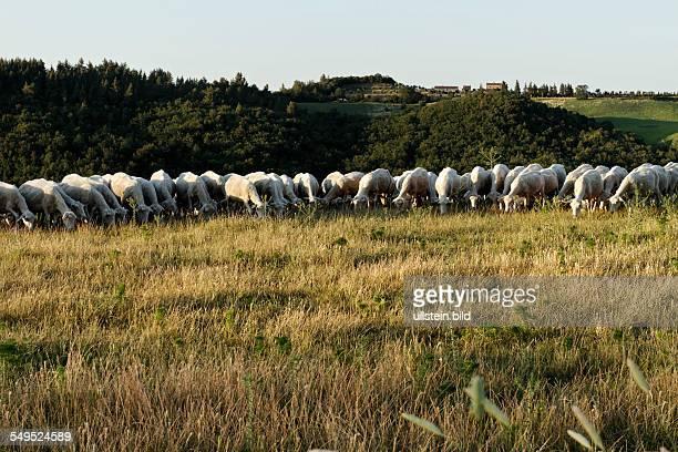 Sheep grazing in a Tuskanien field near Montegemoli Tuscany Italy