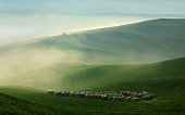 Sheep Grazing in Foggy Rolling Tuscany Landscape at Dawn
