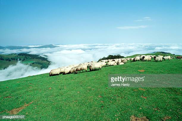 Sheep grazing in mountains