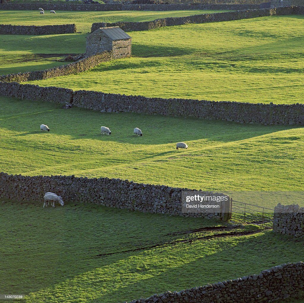 Sheep grazing in rural pastures : Stock Photo