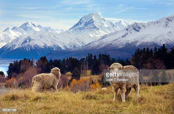 Sheep grazing. Mount Cook and the Southern Alps