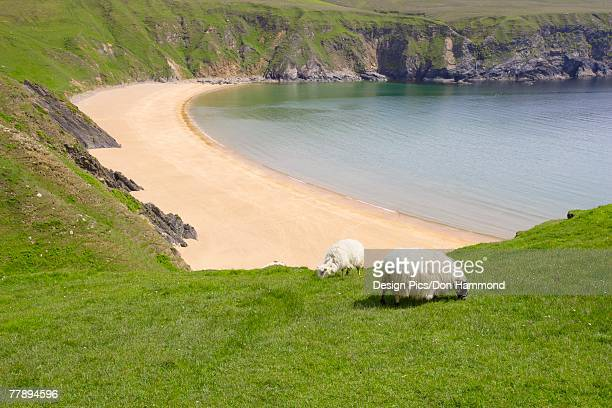 'Sheep grazing near cove, Northern Ireland'