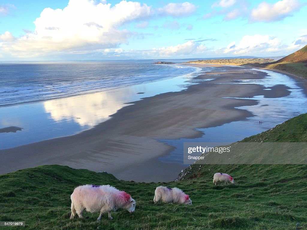 Sheep grazing on a cliff, Rhossili Bay, Gower, Wales, UK : Stock Photo