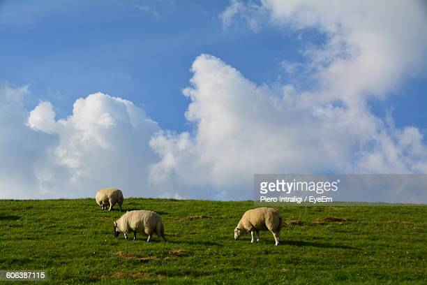 Sheep Grazing On Grassy Hill Against Blue Sky