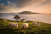 Sheep grazing on hillside, Blasket islands, County Kerry, Ireland