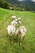 Sheep grazing on hillside in mountains