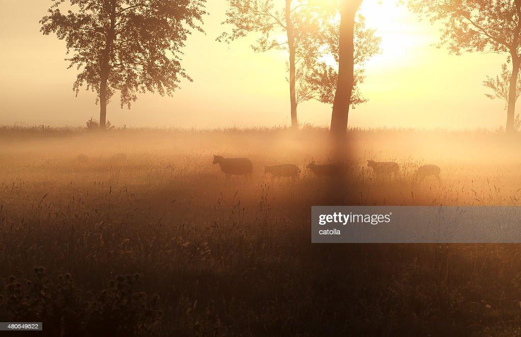 Pastoreo de ovejas en misty sunrise pasture : Foto de stock