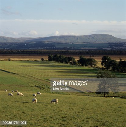Sheep grazing on pasture, elevated view : Stock Photo