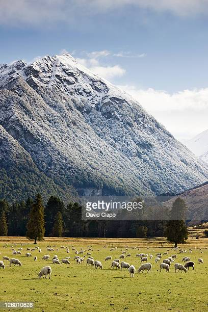 Sheep grazing the pasture near Paradise, Glenorchy, Queenstown, New Zealand