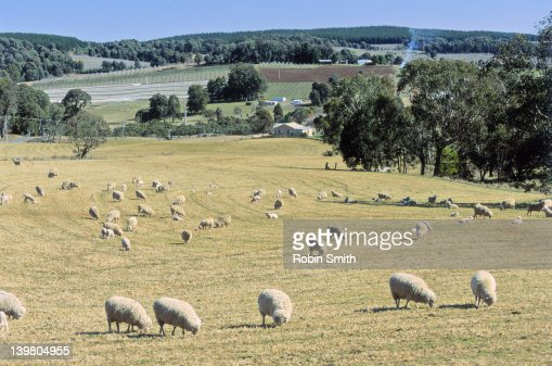 Sheep grazing,Tumbarumba area,NSW