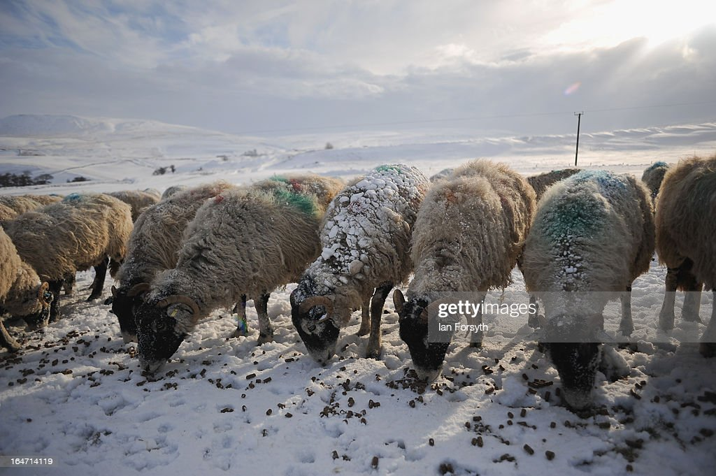 Sheep have their morning feed at Bleathgill Farm in the hamlet of Barras following heavy snow on March 27, 2013 near Kirkby Stephen, Cumbria, England. Stuart Buckle, 23, runs Bleathgill Farm with his father Wilf and as heavy snow continues to fall, extra effort is needed to look after and protect their Swaledale sheep from the cold. Across the UK, farmers are battling to save livestock after heavy snow and freezing temperatures has left thousands of sheep and cattle stuck in the fields with no access to food and fresh water.