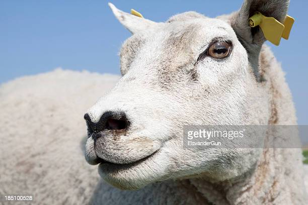 sheep head close-up