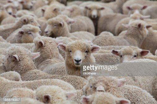 Sheep Herd in New Zealand 2