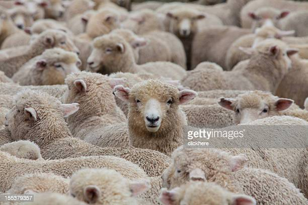 Sheep Herd in New Zealand 2