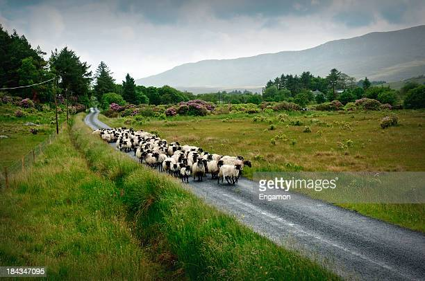 Sheep herd on the road
