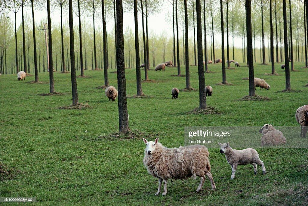 Sheep, Herefordshire, UK : Stock Photo