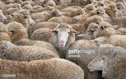 Pecore nella folla