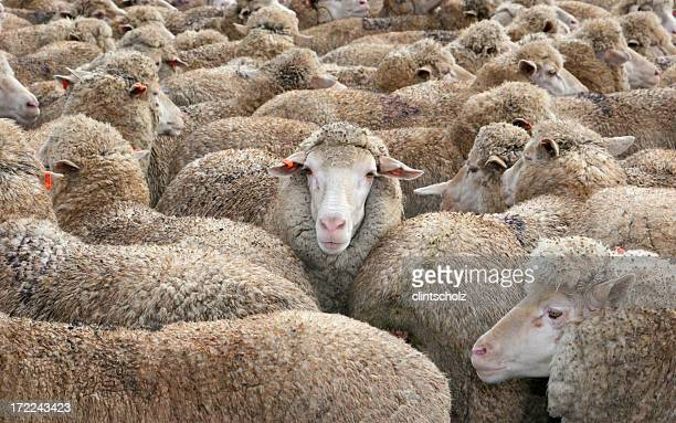 Sheep in a Crowd