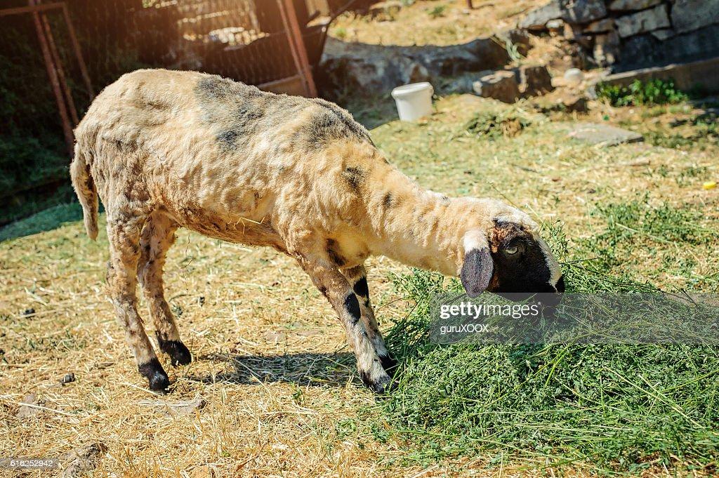 Sheep in a mountain village : Foto de stock