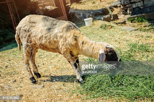 Sheep in a mountain village : Foto de stock
