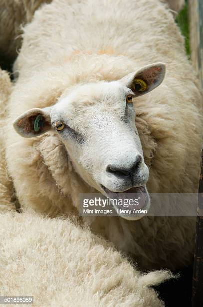 Sheep in a pen on a farm.