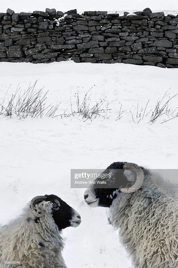 Snow Drift Granite : Sheep in a snow drift near stone wall winter stock