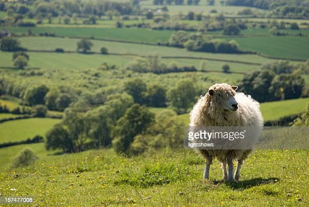 Sheep in an English field