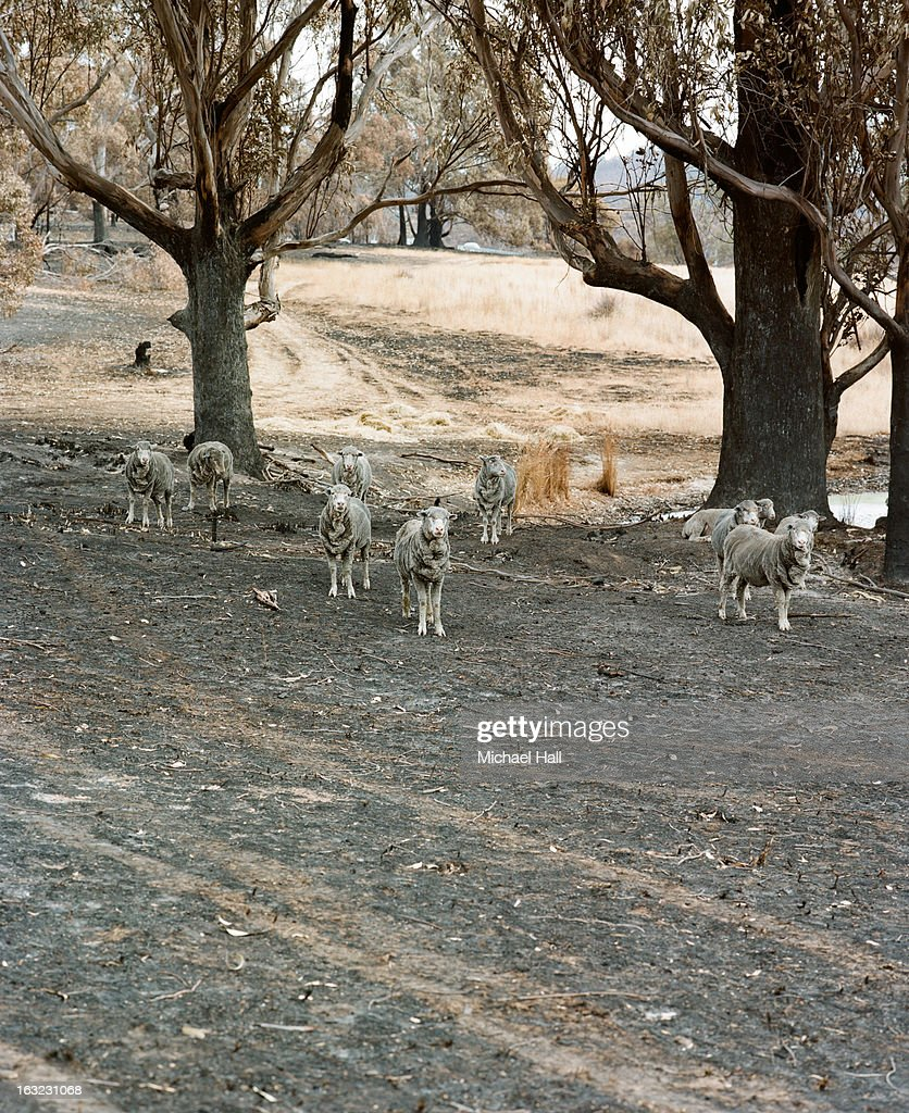 Sheep in burnt pastureland : Stock Photo