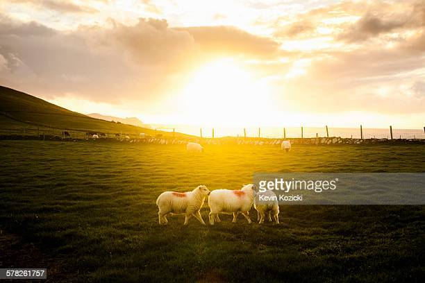 Sheep in field, Dunquin, Kerry, Ireland
