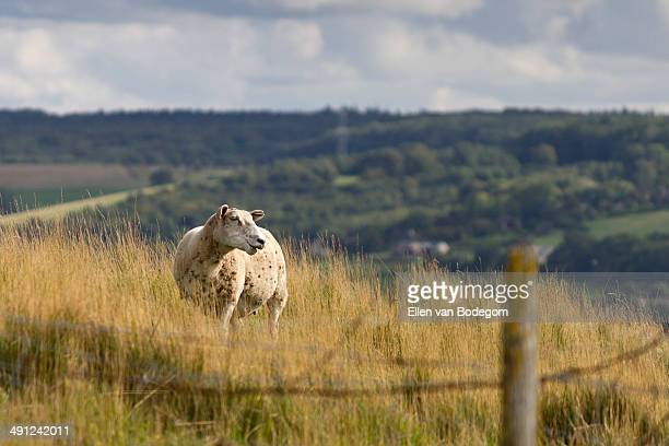 Sheep in field