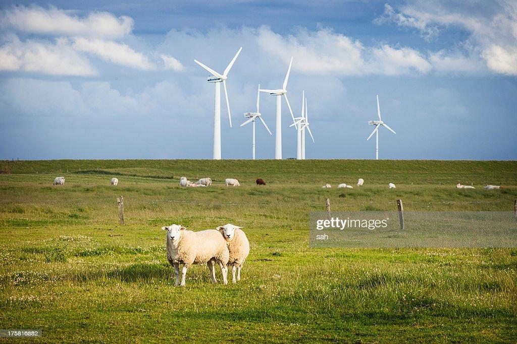 Sheep in field with windfarm, Schleswig Holstein, Germany
