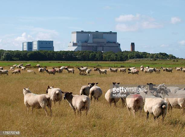 Sheep in front of Hinkley Point nuclear power station