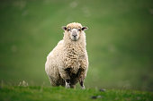 close-up of a sheep on a meafow in new zealand