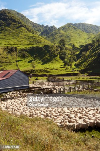 Sheep in pens. : Stock Photo