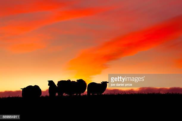 Sheep in Silhouette