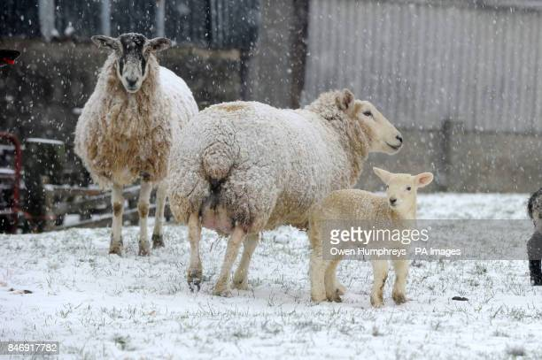 Sheep in snow near Tunstall in Yorkshire as forecasters warn of severe weather over the weekend PRESS ASSOCIATION Photo Picture date Saturday...
