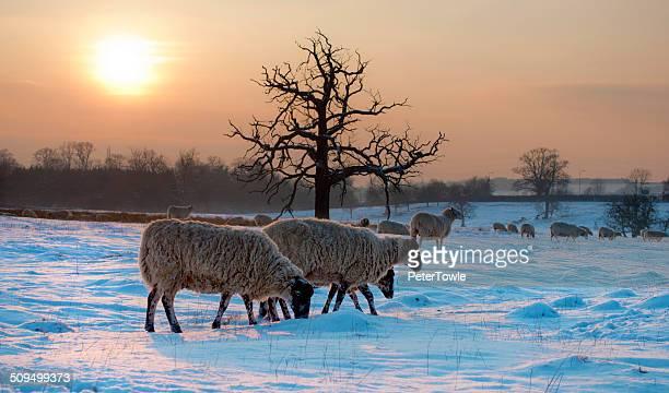 Sheep in snow, winter scene