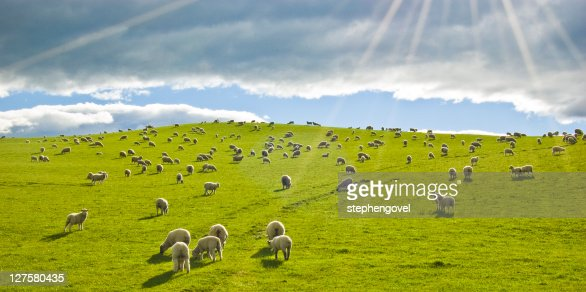 Sheep in sun