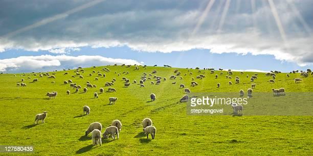 Sheep in sun