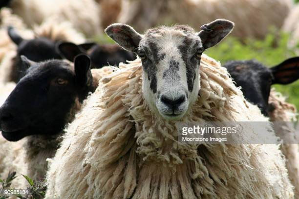 Sheep in the Cotswolds, England