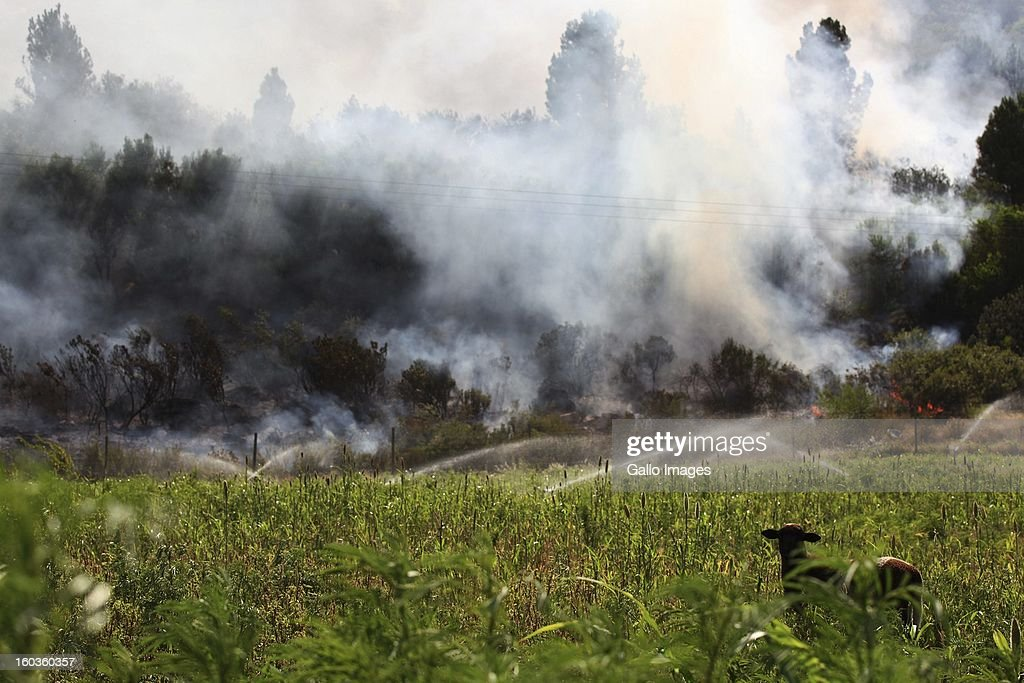 A sheep in the field at La'Arc De Orleans on January 29, 2013, in Paarl, South Africa. No firemen were present as the veld fire swept through the entire Boland region in the Western Cape.