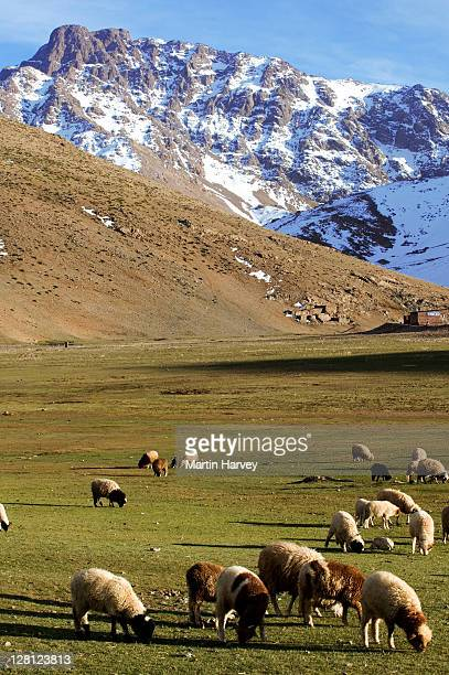 Sheep (Ovis aries) in the High atlas region of Oukaimeden, Morocco, North Africa