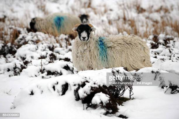Sheep in the snow near Stanhope in Co Durham today as more snow is forecast for the rest of the weekend