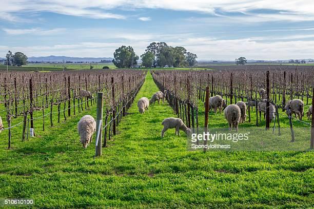 Ovelhas na vinha, Napa na Califórnia