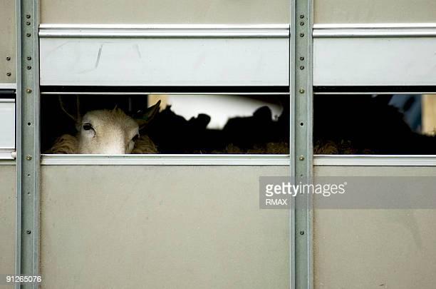 Sheep in transit