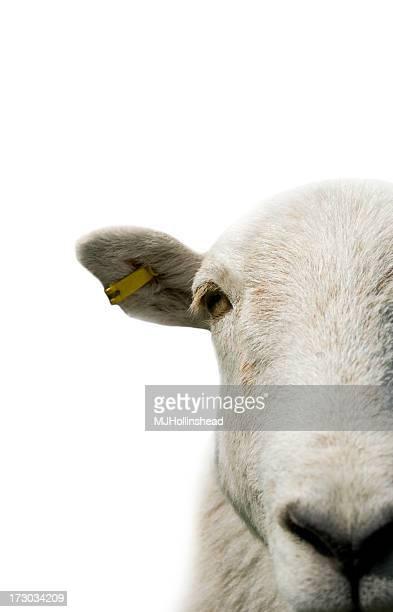 Pecore isolata
